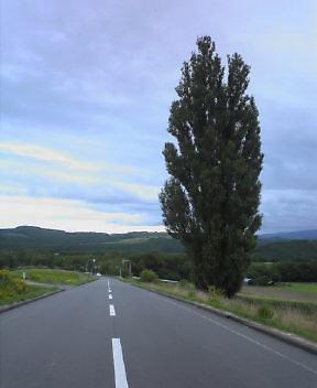 ケンメリの木