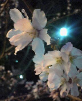 さ、さ、桜ぁ〜!?