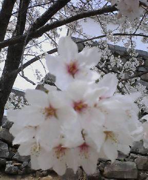 お花見しちゃいました(*^_^*)
